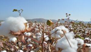 Gaziantep'te pamuk hasadı başladı