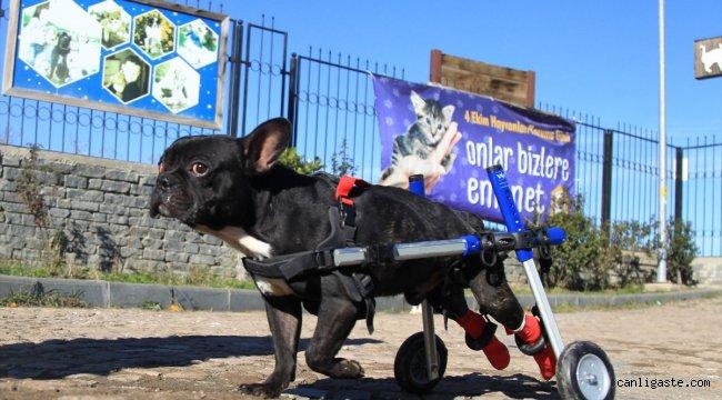 """Bacakları felçli """"Kara Şimşek"""" tekerlekli yürüteçle hayata bağlandı"""