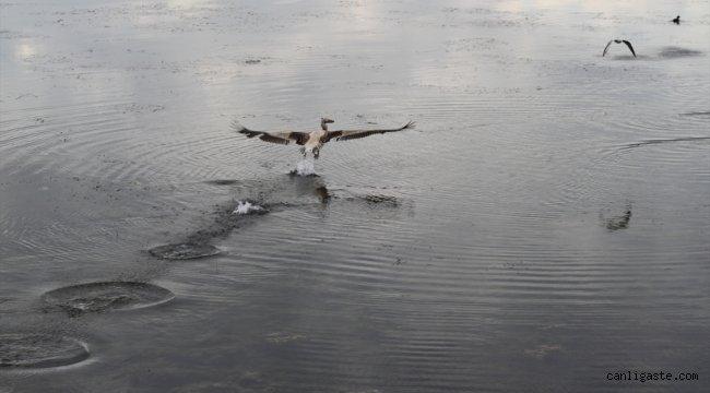 Beyşehir Gölü Milli Parkı'nın güz konuğu yalnız pelikan ilgi odağı oldu