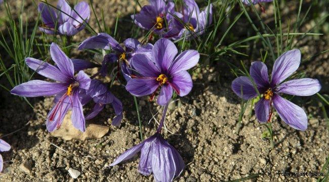 """Edirne'nin iklimine uyum sağlayan """"mucize bitki"""" safran ikinci kez hasat edildi"""