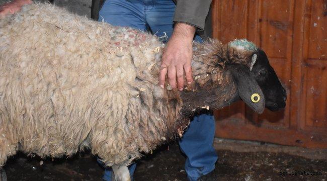Kars'ta kurtların sürüye saldırması sonucu 35 koyun telef oldu