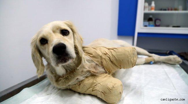 Samsun'da bacakları kesilmiş halde bulunan köpeğin durumu iyiye gidiyor