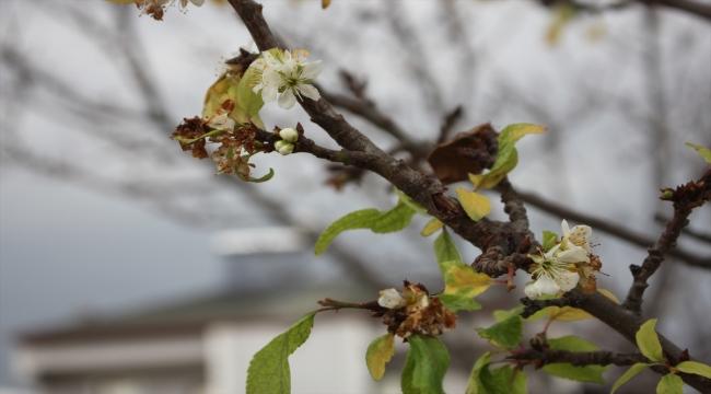 Amasya'da erik ağacı ocakta çiçek açtı