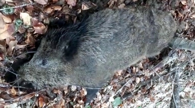 Kırklareli'nde yaban domuzlarının ölümü araştırılıyor