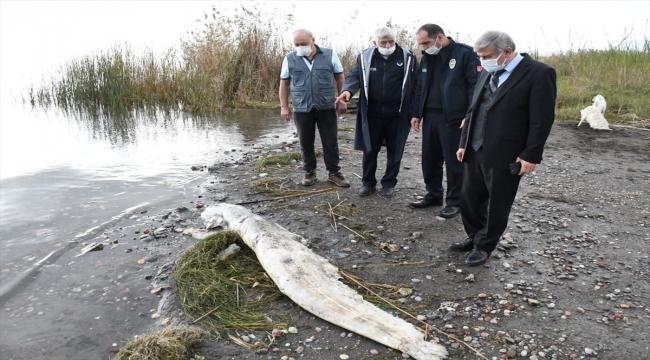 Köyceğiz sahilinde yaklaşık 2 metrelik ölü yayın balığı kıyıya vurdu