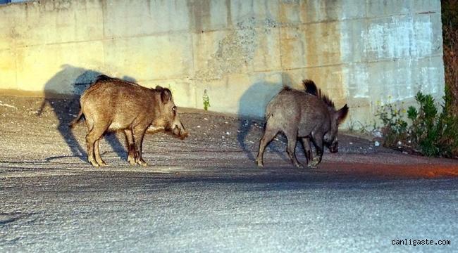 Kayseri'de aç kalan domuz sürüsü mahalleye indi (VİDEOLU HABER)