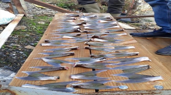 Mersin'de 15 balıkçı 4 bin 66 balon balığı avladı