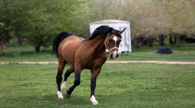 İran'da Kaşkay Türklerinin yüzyıllardır yetiştirdiği asil atları servet değerinde