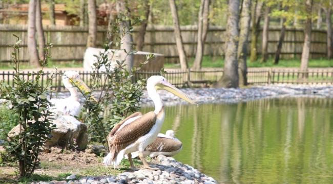 Kocaeli Ormanya Doğal Yaşam Parkı engelli pelikanlara yuva oldu