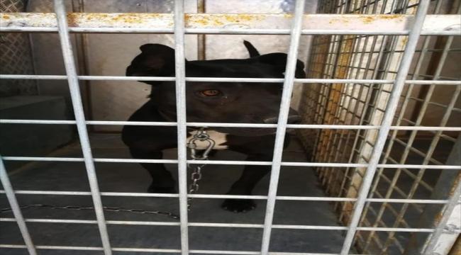 Sivas'ta pitbull cinsi köpeğin saldırdığı polislerden biri ayağından yaralandı
