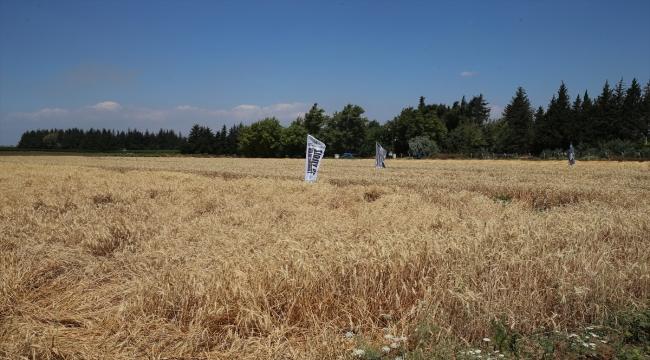 Hatay'da yerli buğdayda bereketli hasat