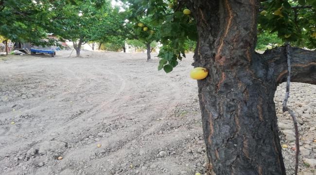 Elazığ'da bir bahçede kayısı meyvesi, ağacın dalında değil gövdesinde çıktı