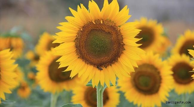 Kayseri'de 120 bin dekara çerezlik ayçiçeği ekildi