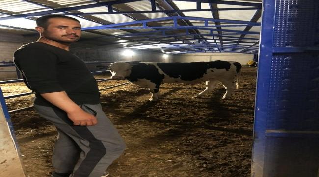 Konya'da boğanın saldırısına uğrayan çoban yaralandı